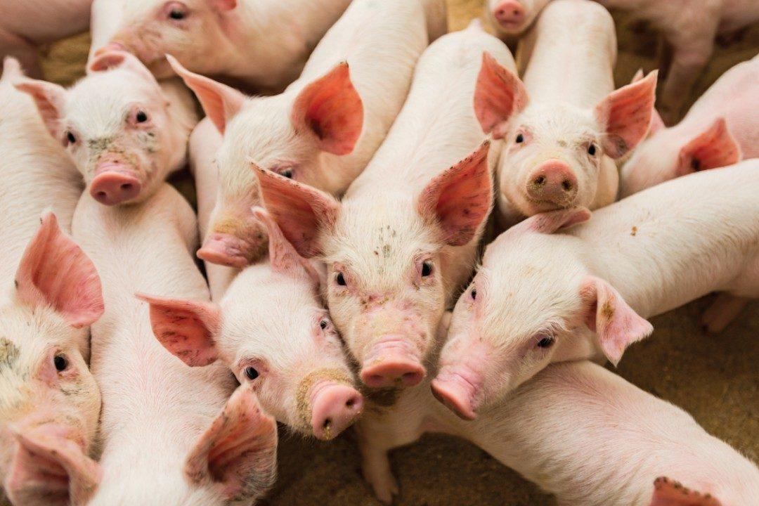African-swine-fever-infection_smaller.jpg