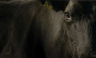Mid year review beef cattle adobestock