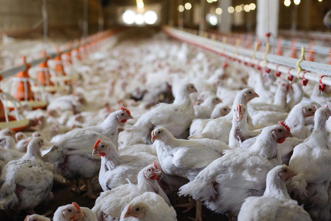 chickens-Adobe-Stock.jpg