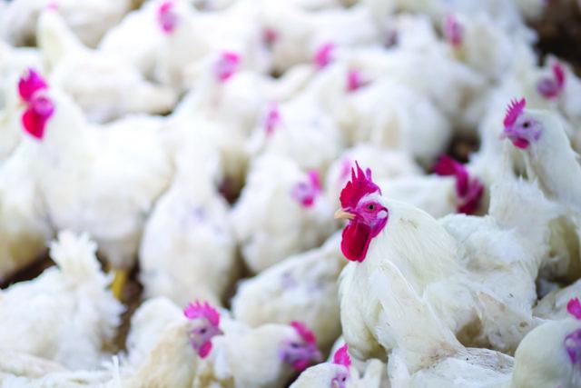 Chicken-adobe-stock