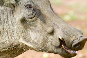 Warthog-adobe-stock