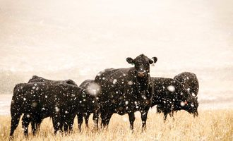Outlook cattle adobe stock