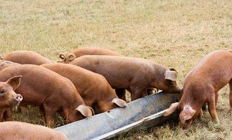 Pigs-shutterstock