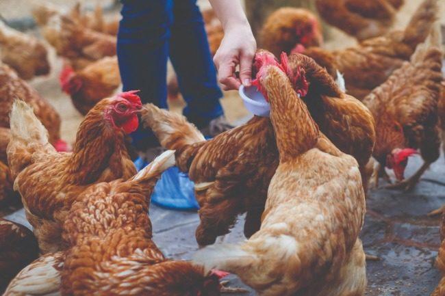 Adobe Stock poultry