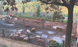 Pigs-smallest