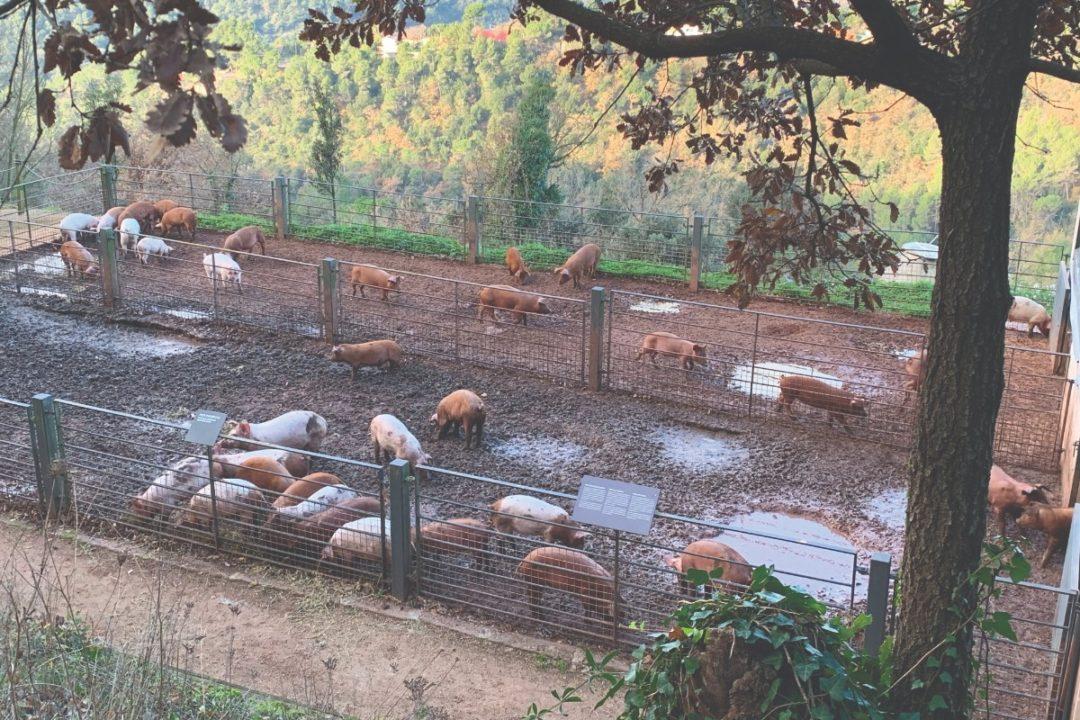 Pigs Smallest