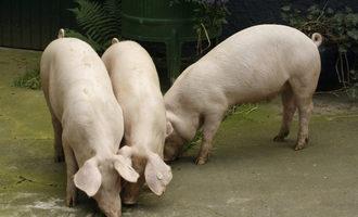 Pigs_photo-cred-shutterstock_32552824_e