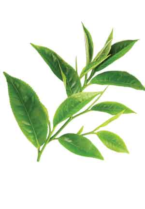 Green tea extracts can positively impact the appearance and quality of meat and poultry.