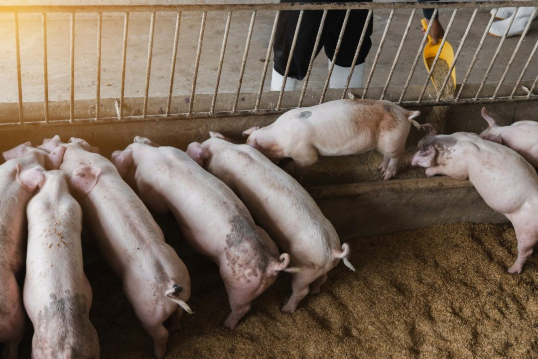 Pigs Adobe Stock