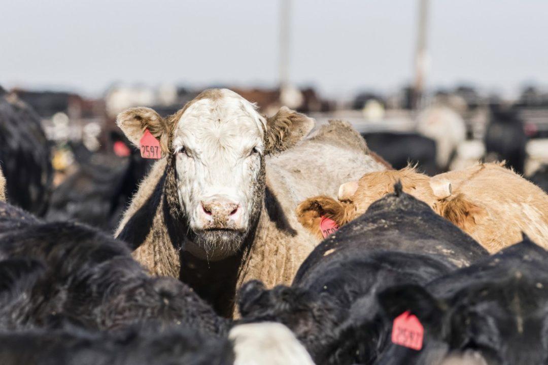cattle closeup