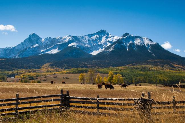 Cattle CSU