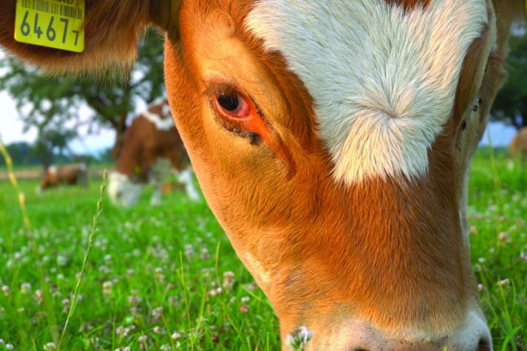 Adobe Stock cattle
