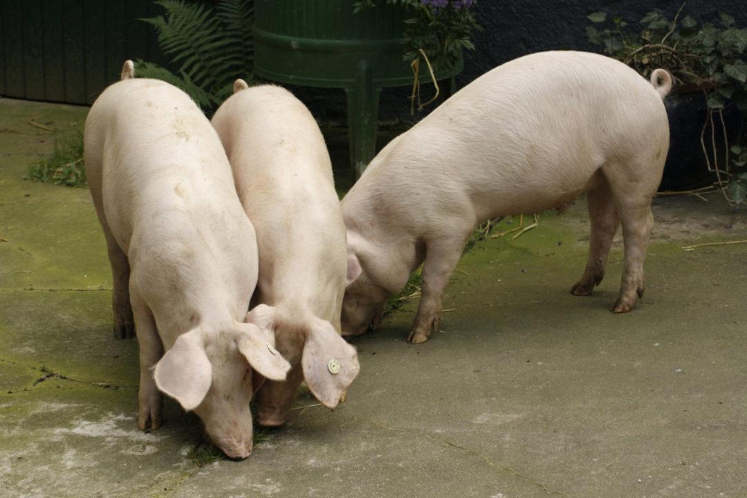 Pigs shutterstock