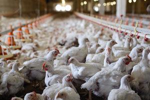 Chickens adobe stock