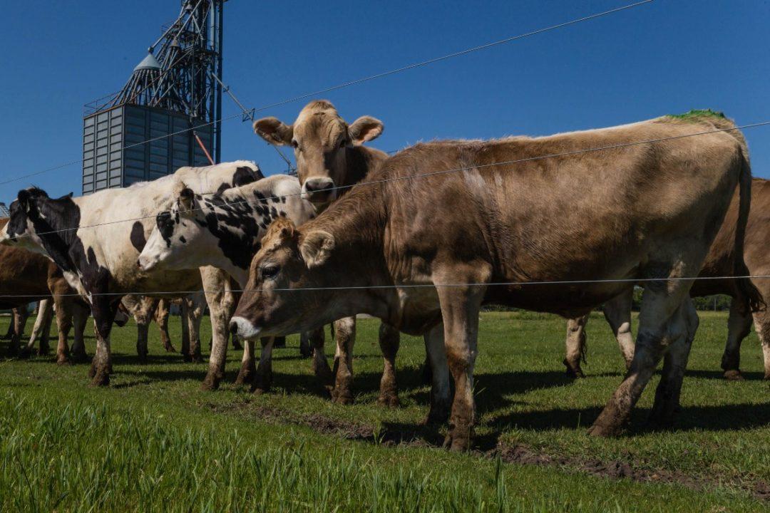 SD Cows