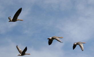 Geese-in-flight