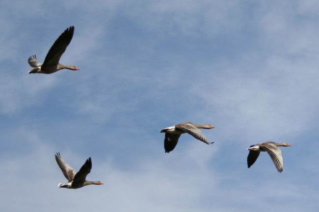 Officials in Northern Ireland have confirmed the presence of avian influenza in wild birds.