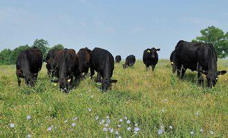 Small-biz-roseda-farms-cows