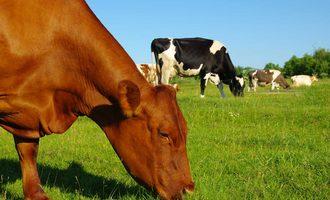 Cattle-grazing-shutterstock