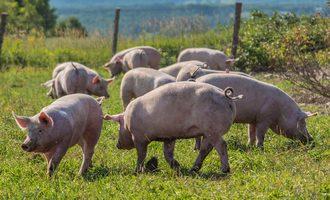Dubreton pigs
