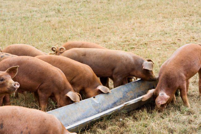 Pigs feeding at a trough