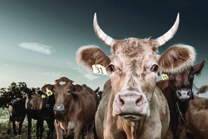 Cow smaller