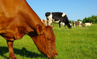 Cattlegrazeshutterstock
