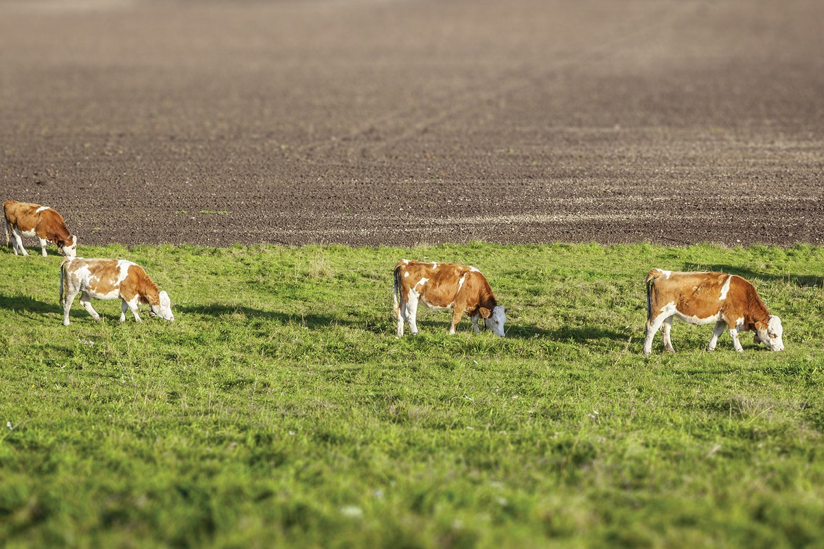 Cows small 2