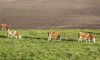 Cows_source_adobestock-small