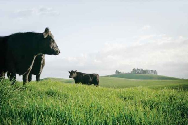 Because of New Zealand's climate, cattle graze year-round on green pastures.