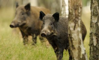 Wild-boar-asf-adobe-stock