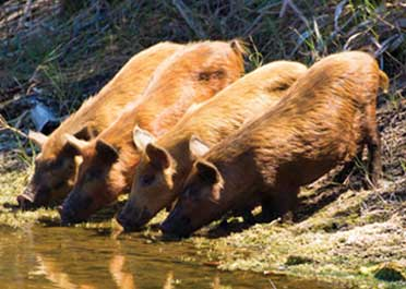 Wild hogs drinking water at Merritt Island National Wildlife Refuge, Florida.
