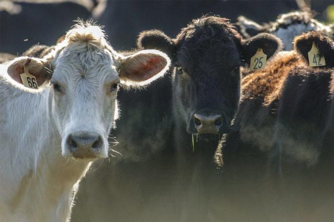 Cattle Japan