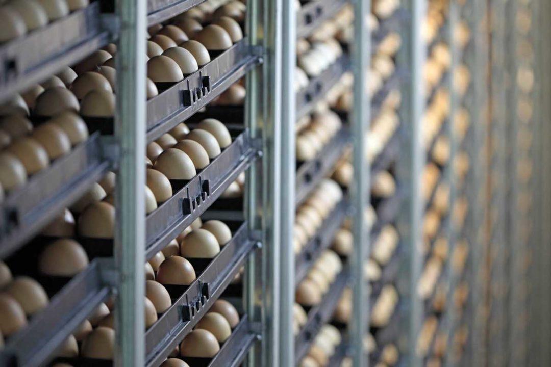 Eggs incubators