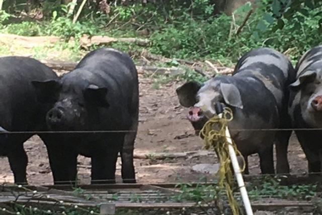 Pigs-smaller