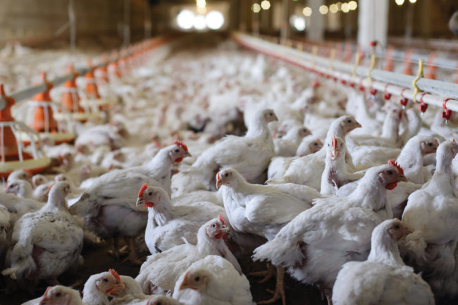 Poultry smaller