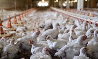 Chickens_adobestock