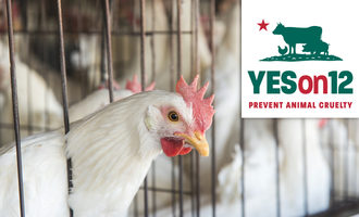 Chickenyeson12_lead