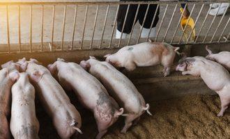 Pigs adobestock smallest