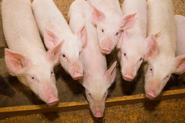 Pigs-istock