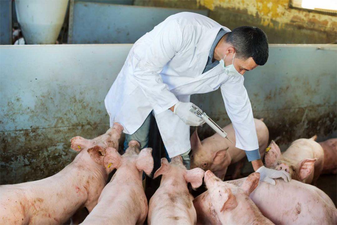Vet pigs