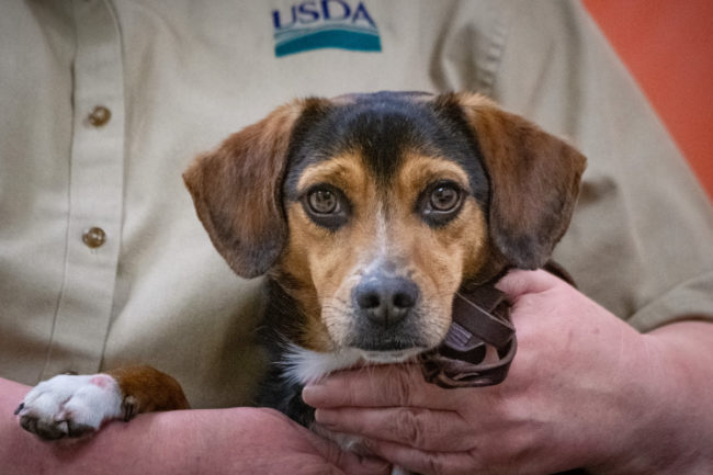 Beagle USDA