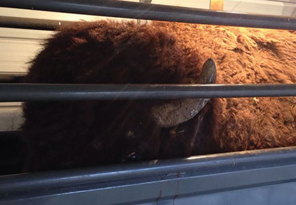 A bison in a chute at Alleghany Meats