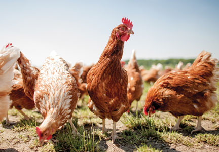 Cage-free egg production was considered a niche position in the natural/organic marketplace.