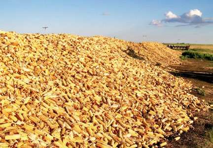 Piles of corn cobs, corn harvest