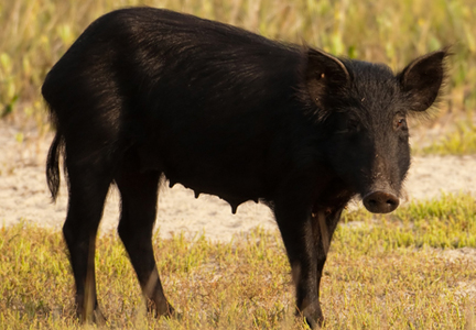 Trappers in West Texas are capturing feral hogs and selling them to meat processors.