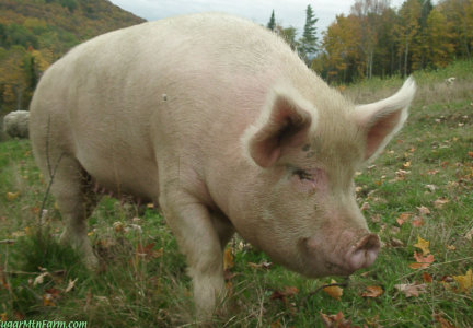 Allowing pigs to eat grass improved the flavor of the bacon at Sugar Mountain Farms.