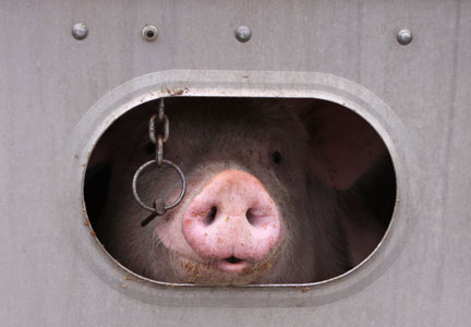 Jason McAlister, animal welfare manager for Triumph Foods, took a four-hour ride in the back of a trailer loaded with pigs.