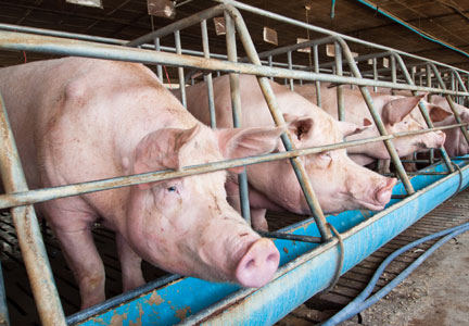 Pork production reached record highs for February, USDA reported.