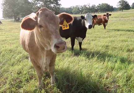 YouTube still from True Beef: From Pasture to Plate